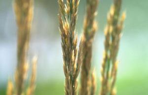 Une histoire de blé bio ancien