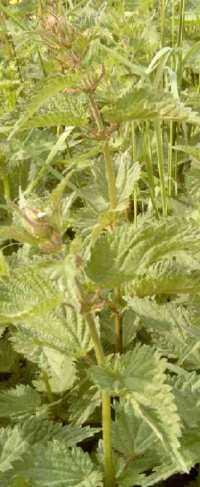 Purin d 39 ortie indispensable pour votre jardin - Quand utiliser le purin d ortie ...