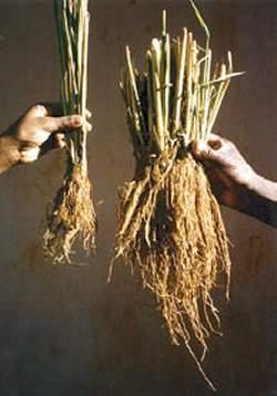 La revanche des petits paysans traditionnels face aux gros agriculteurs industriels