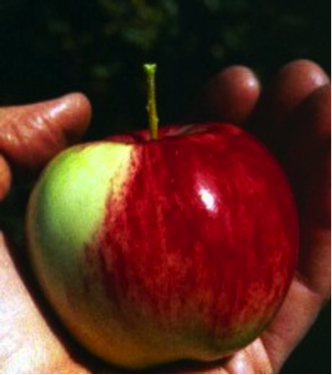Aux origines de la pomme
